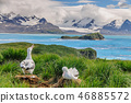 Wandering Albatross Couple on it's Nest 46885572