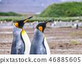 King Penguins on Salisbury plains 46885605