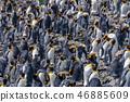 King Penguins on Salisbury plains 46885609