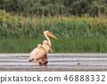 white pelicans in Danube Delta, Romania 46888332