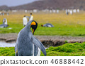 King Penguins on Salisbury plains 46888442