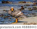 Flightless Steamer Ducks on Carcass Island 46888443