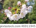 Cherry Blossoms 46911945