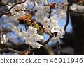 Cherry Blossoms 46911946