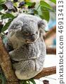 Koala 46913413