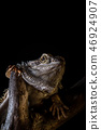 Bearded dragon on piece of dry wood on black background 46924907