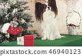 Papillon dog with gifts near New Year tree 46940123
