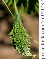 Momordica charantia called bitter melon 46940232
