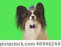 Beautiful dog Papillon in purple hat with feather and bow on green background 46940244