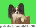 Beautiful dog Papillon in cardboard box on green background 46940286