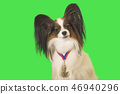 Beautiful dog Papillon with medal for first place on the neck on green background 46940296