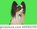 Beautiful dog Papillon with blue bow on green background 46940299