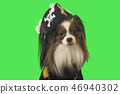 Beautiful dog Papillon in pirate costume on green background 46940302