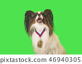 Beautiful dog Papillon with medal for first place on the neck on green background 46940305