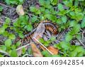 Scolopendra cinculata Mediterranean banded centipede  46942854