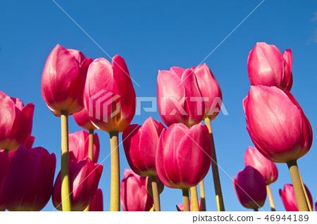 tulipa, tulip field, flower garden 46944189