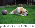 old Labrador dog on the grass with ball toy 46946032