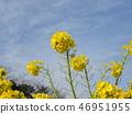 早期开花的Nabana在12月开始开花 46951955