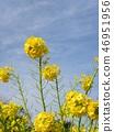早期开花的Nabana在12月开始开花 46951956