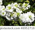 股票 花朵 花卉 46952716