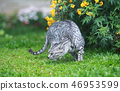 wild cat hunting on the garden 46953599