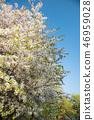 Sakura 46959028