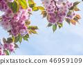 Cherry Blossoms 46959109