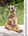 Meerkat的肖像 46962001