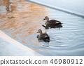 얼음이 언 개울에서 수영하는 흰뺨검둥오리, 겨울 풍경 46980912