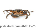 Crab. Black sea crustacean isolated on white background 46981525
