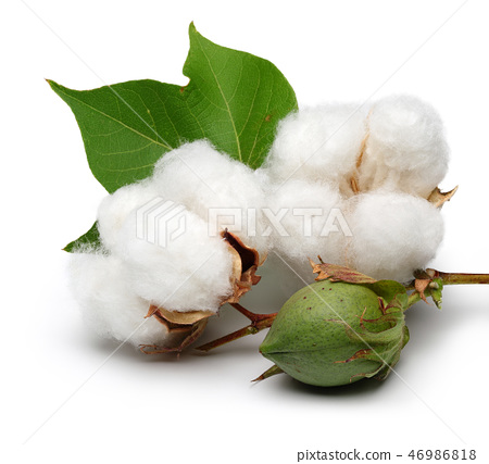 Cotton with leaves on white background 46986818