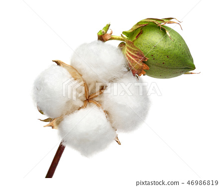 Cotton plant and green cotton boll 46986819