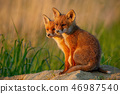 Red fox, vulpes vulpes, small young cubs near den curiously weatching around. 46987540