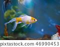 Colorful fish on aquarium water 46990453