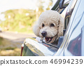 Cute poodle dog in car 46994239