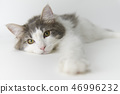 노르웨이 숲 고양이 46996232
