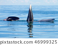 Bryde's Whale two big fishes in the sea 46999325