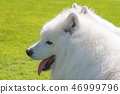 Samoyed dog portrait. 46999796