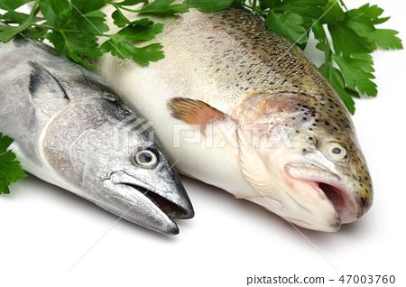 Fresh Bonito and Salmon among parsley leaves 47003760