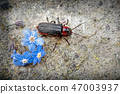 Soldier Beetle, Cantharis rustica  47003937