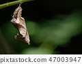 Pupa of the Comma Butterfly, Polygonia c-album. 47003947