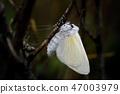 Fresh Female White Satin Moth Emergent. 47003979