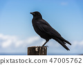 A crow perched on a wooden pole next to the Pacific Ocean in Big Sur, California, USA. 47005762