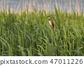 Great reed warbler bird on the reed at springtime 47011226