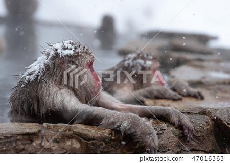 온천에 잠기 원숭이 스노우 몽키 47016363