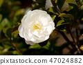 산다화 꽃 클로즈업 47024882