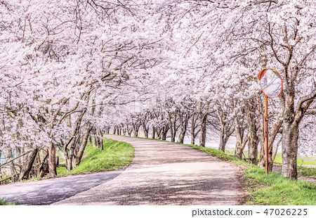 Cherry blossom trees 47026225