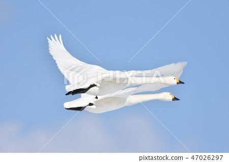 swan 47026297