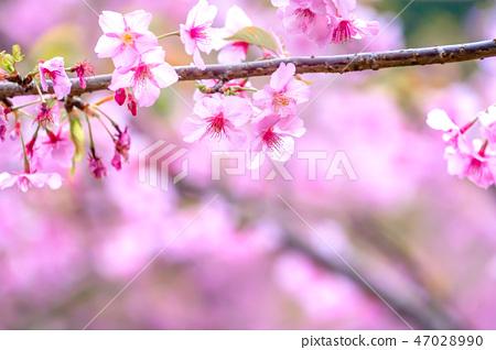 櫻花花愛十順十種開花的花園櫻花櫻花 47028990