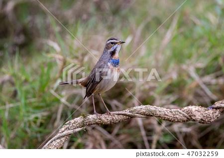 可愛小鳥 47032259